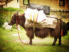 Special Tour in Centre of Tibet by Yak and Horse Back