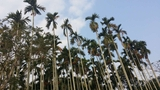 The Palm Forest in Hainan